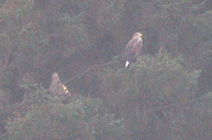 White-tailed Eagles, Mull, Argyll, January 2009 M.J.McGill