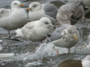 Second winter Iceland Gull, Mull, Argyll, January 2009 M.J.McGill