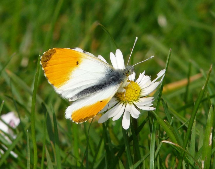orange-tip-april-3rd-lumix-2009-mjmcgill-002