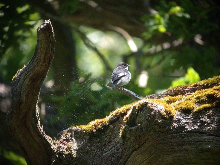 copy-of-30-may-2009-pied-fly-and-aythya-hybrid-coolpix-mjmcgill-0451