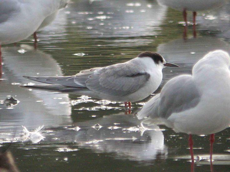 Arctic Tern juvenile WWT Slimbridge 27 August 2009 MJMcGill 030