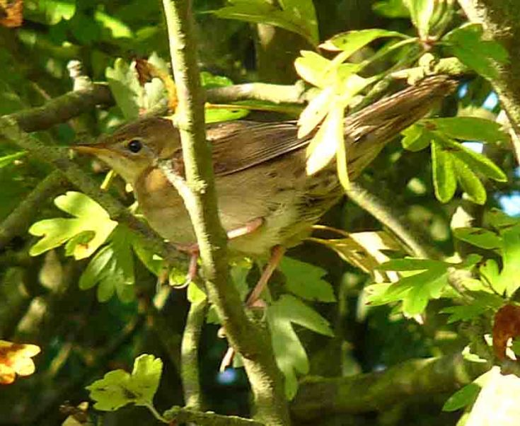 Grasshopper Warbler 24 September 2009 MJMcGill 017
