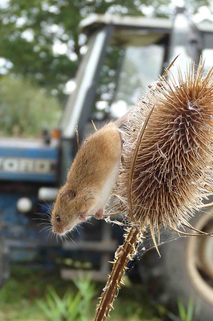 Harvest Mouse and Ford 5030 30 Sep 2009 MJMcGill 075