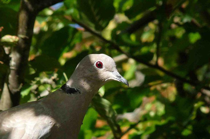 Collared Dove head Late Sep 2009 MJMcGill 018