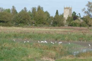 Little Egrets 1 October 2009 MJMcGill 088
