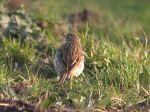 Richard's Pipit, Porthloo Lane, Scilly, Ocotber 2009 MJMcGill