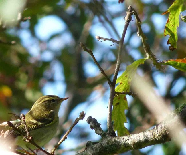 Yellow Browed Warbler Cornwall Lumix 19-24 October 2009 MJMcGill