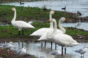 Bewick's Swans, 2 November 2009 MJMcGill 100