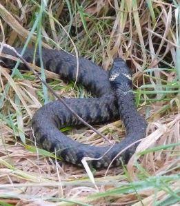 Grass Snake, SFinger, WWT 12 November 2009 MJMcGill 002
