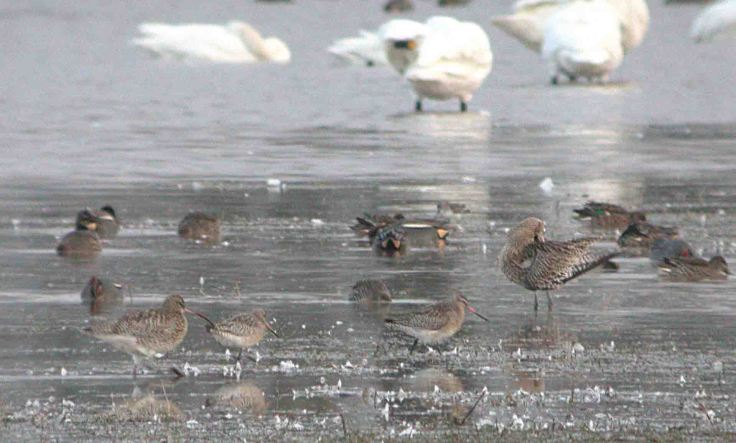 Bar-tailed Godwits, Tack Piece, WWT, MJMcGill