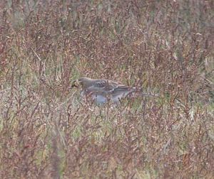 Shore Lark, November 14 2009 MJMcGill