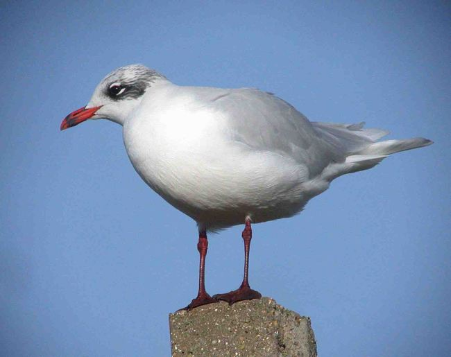 Mediterranean Gull, West Runton 15 Nov 2009  MJMcGill
