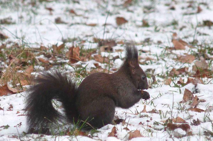'Black' Red Squirrel, Slovenia, Bled  17-20 December 2009 MJMcGill