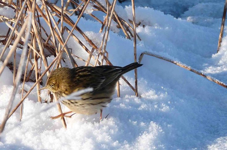 Meadow Pipit in the snow 7 January 2010 MJMcGill
