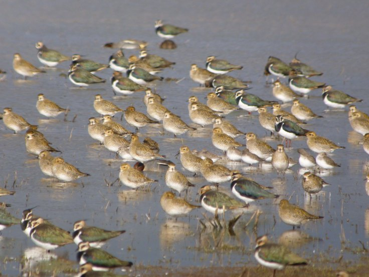 Golden Plover and Lapwing-Tack Piece MJMcGill