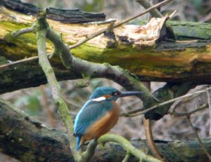 Kingfisher, MJMcGill
