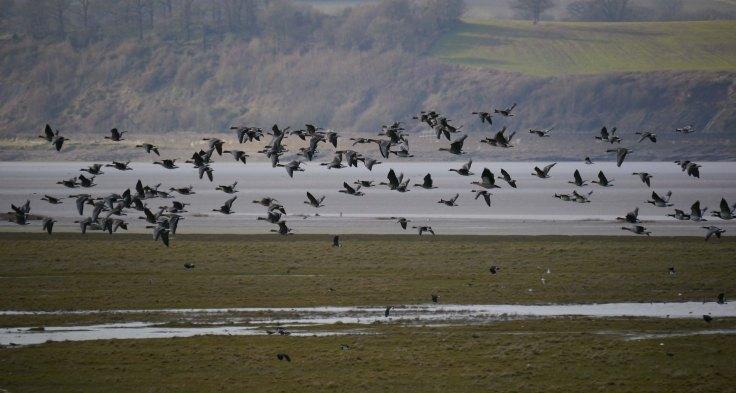 Mixed goose flock over the Dumbles, Slimbridge, 17 Feb 2013, MJMcGill