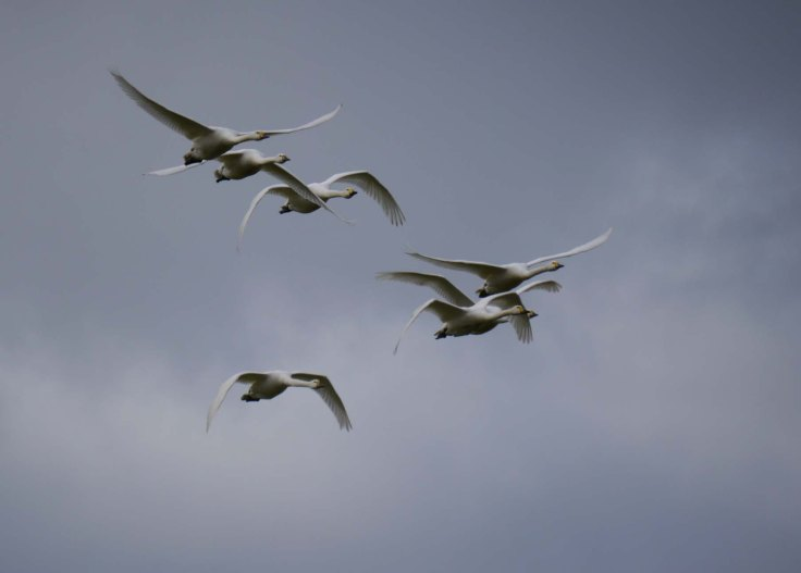 Bewick's Swans-The Dumbles, MJMcGill