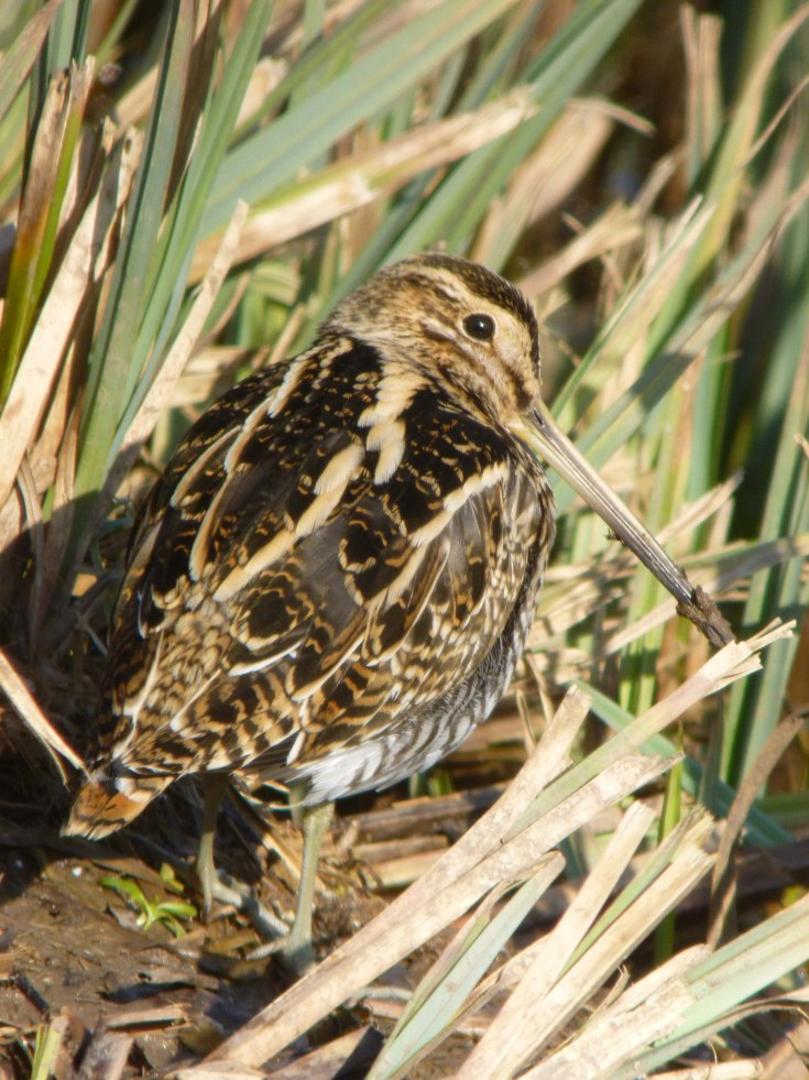 Snipe, Martin Smith Hide, 18 Feb 2013, MJMcGill