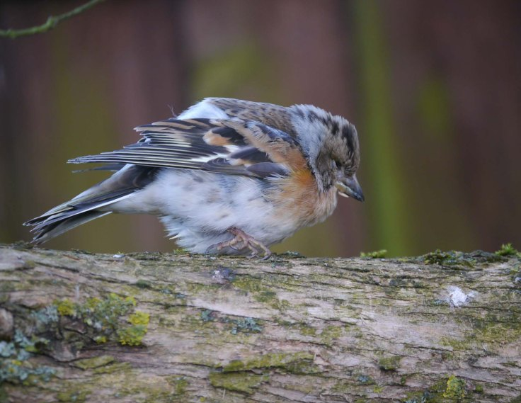 Brambling, female, Whitminster, MJMcGill