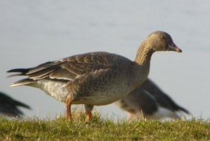 Tundra Bean Goose, juvenile, The Dumbles, 18 Feb 2013 MJMcGill