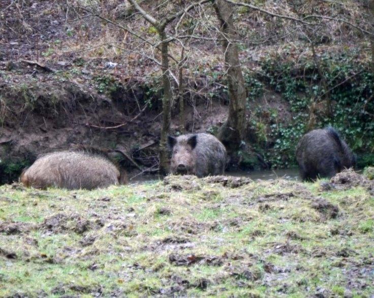 Wild Boar, FoD