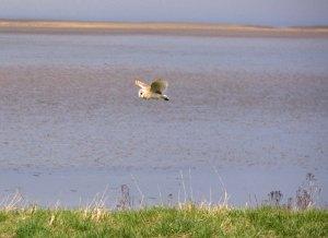 Barn Owl-Severn MJMcGill
