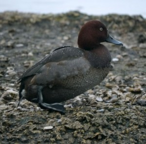 Pochard x Ferruginous Duck, 16 Dec 2012, WWT Slimbridge, MJMcGill