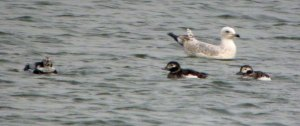 Long-tailed Ducks, Abbotsbury Swannery, 27 Mar 13 MJMcGill