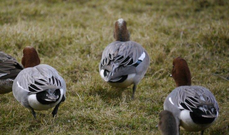 American x Eurasian Wigeon hybrid male, 002 WWT Slimbridge, MJMcGill