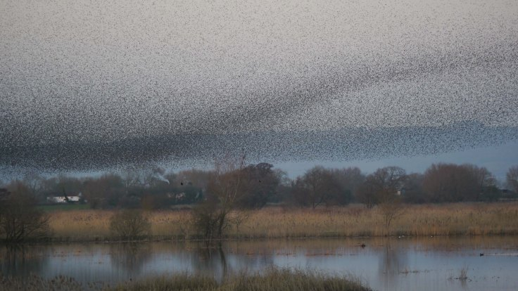 Starlings over Ham Wall RSPB, MJMcGill