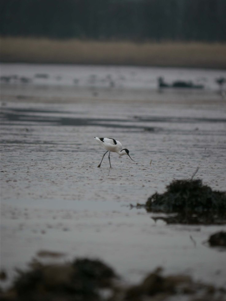 Avocet on the Exe, MJMcGill