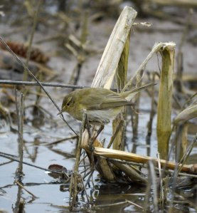 Chiffchaff, Goose House Ground, struggling in cold, MJMcGill