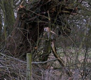 Barn Owl and pollard MJMcGill