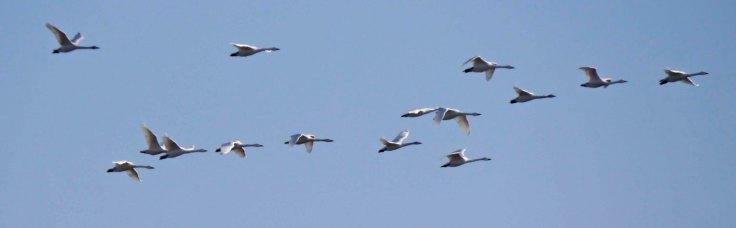Bewick's Swans migrating at WWT Slimbridge, MJMcGill
