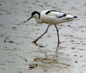 Avocet on estuary mud MJMcGill
