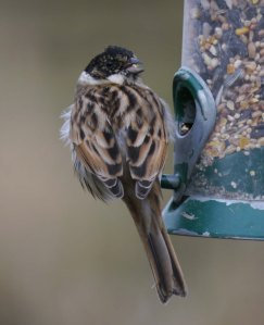Reed Bunting male on feeder, MJMcGill