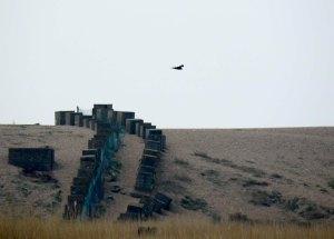 Marsh Harrier over tank traps, Chesil Beach, Abbotsbury, MJMcGill