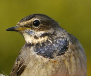 White-spotted Bluethroat, female, Portland Bird Obs, MJMcGill
