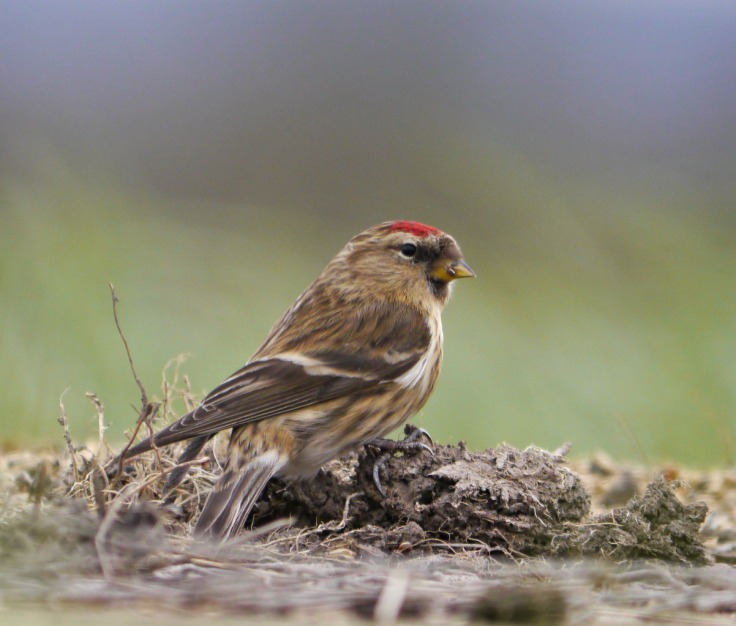 Lesser Redpoll, 15 March 2013, MJMcGill