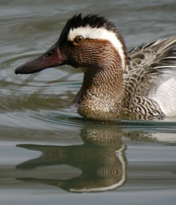 Garganey male, head study, Cannop Ponds, MJMcGill