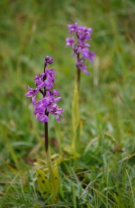 Early Purple Orchid (3) Selsley Common_edited-1