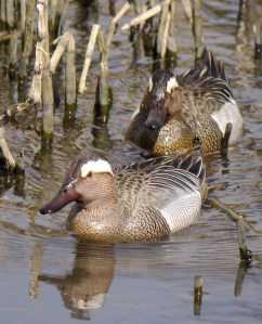 Garganey males 001, FOD, 3 April 13, MJMcGill