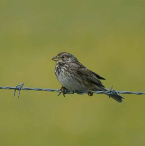 Corn Bunting, Windrush Airfield, MJMcGill, 27 May 13 (8)_edited-1