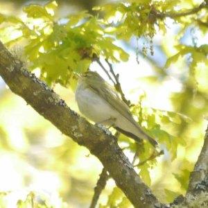 Wood Warbler, Cannop Valley
