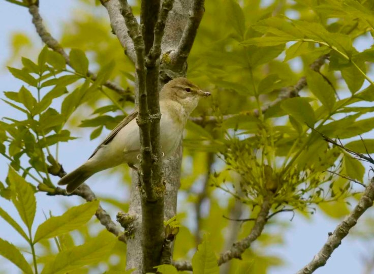Willow Warbler, Breakheart Quarry, Dursley, MJMcGill (5) copy