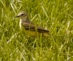 Yellow Wagtail, grey headed female, Leighterton, 17 May 13 MJMcGill