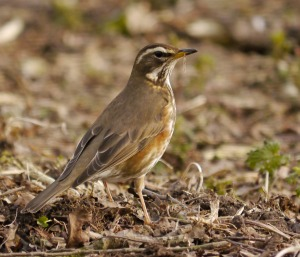 Redwing, Spinney, 7 April 13, MJMcGill
