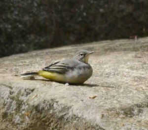 Grey Wagtail, juvenile, Cannop Ponds, MJMcGill