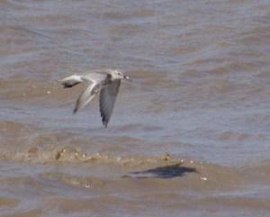 Red Knot, non breeding plumaged in flight, Severn Estuary, MJMcGill